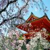 御室桜 ~仁和寺に咲き誇る気高い花