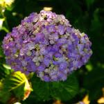紫陽花 〜綺麗な花には毒がある